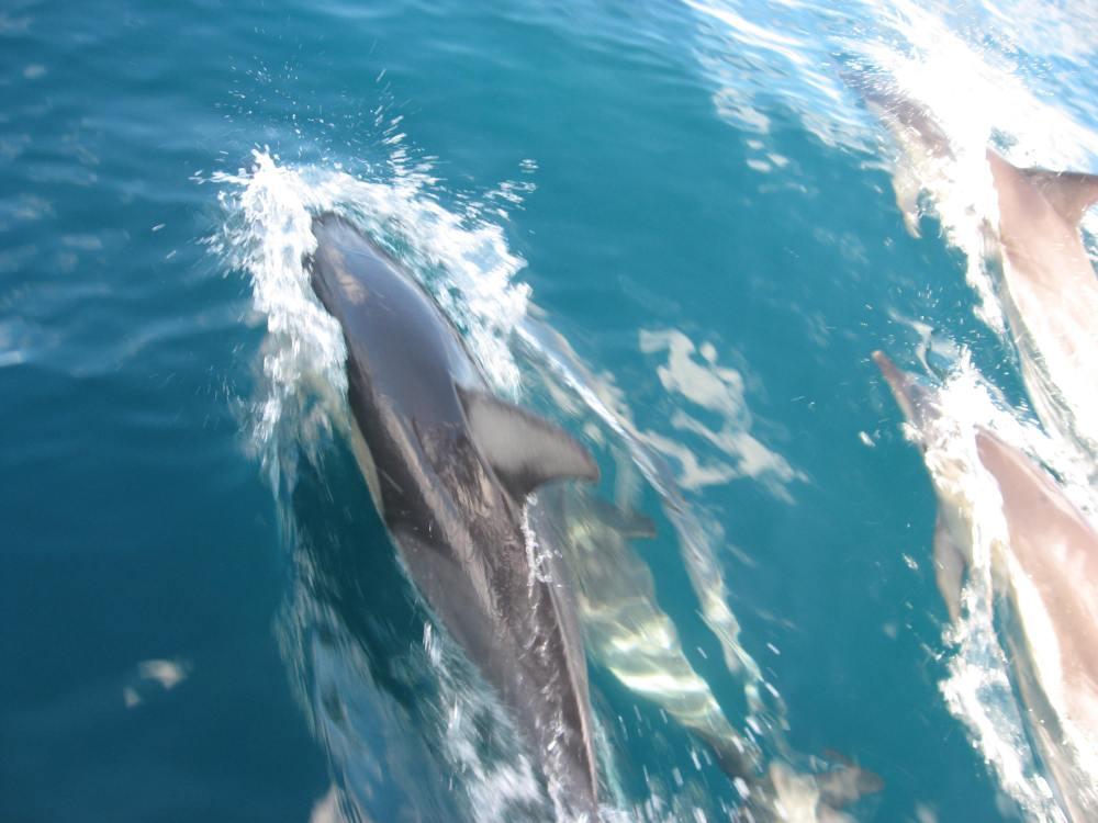 dolphin 17