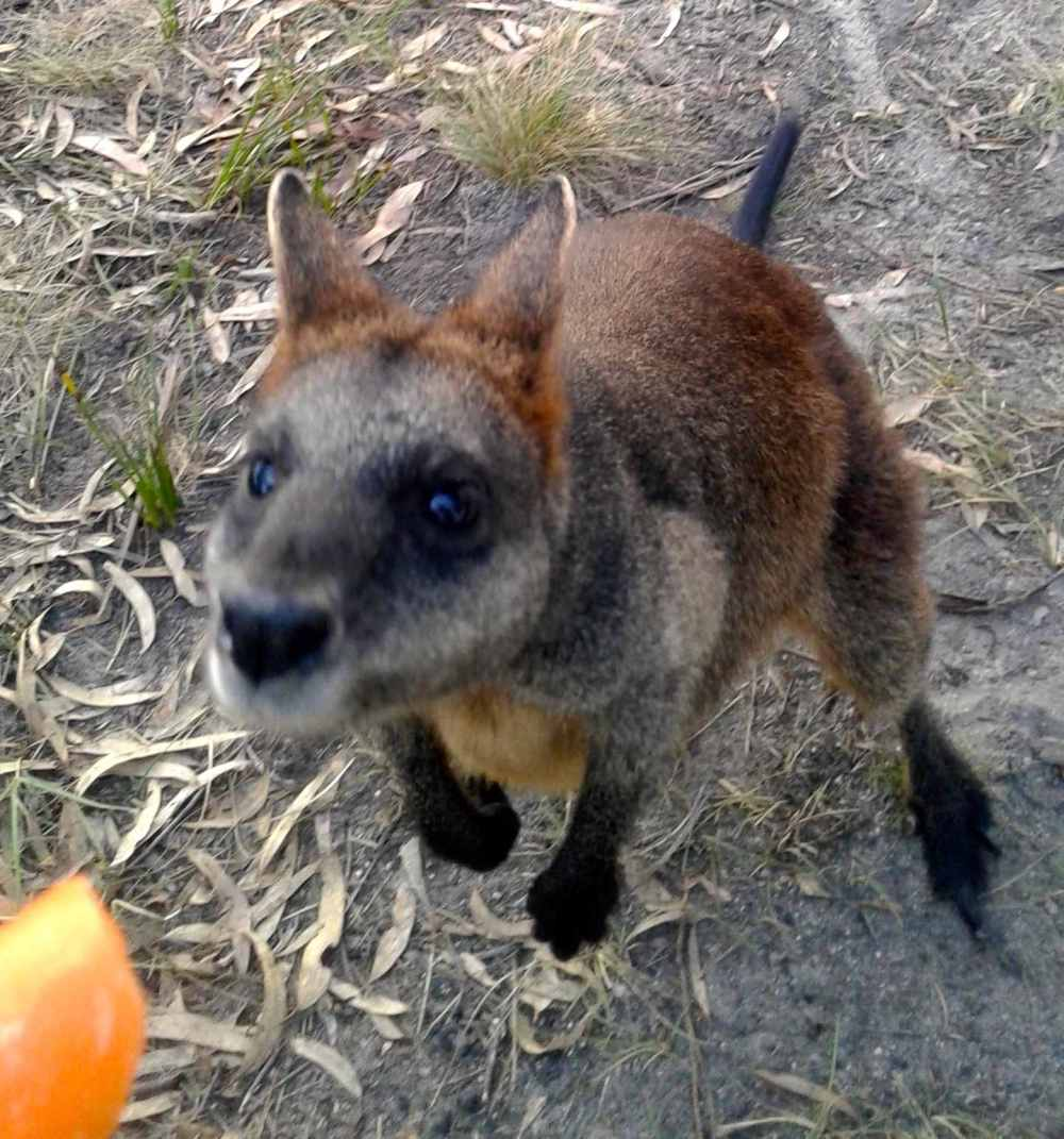 wallaby 10