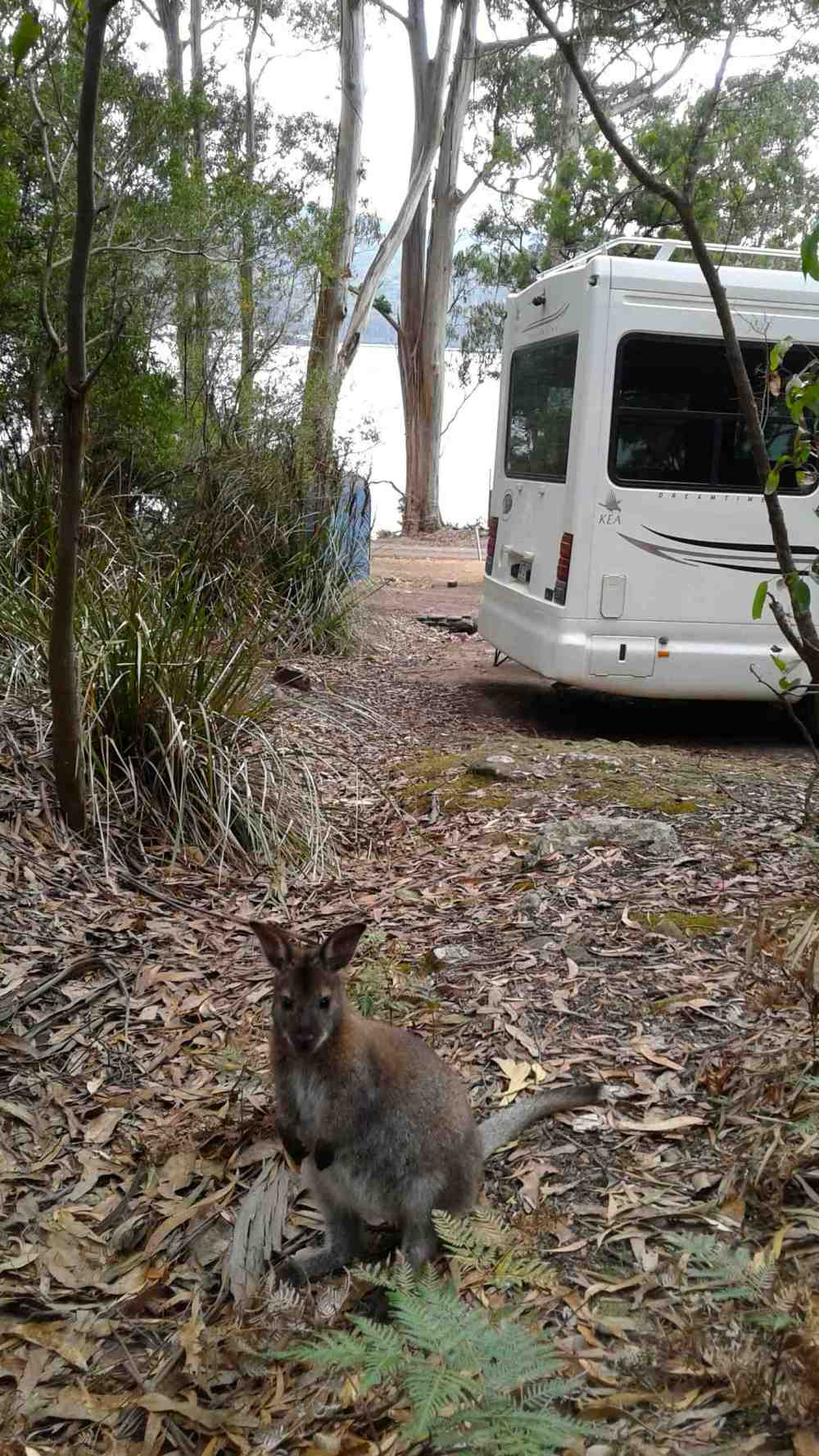 wallaby 9